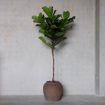 Green Objects - Fiddle Leaf Fig